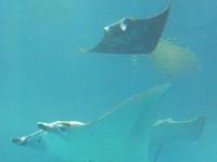 沖縄の海のお腹が黒い魚